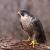 - El halcón peregrino-