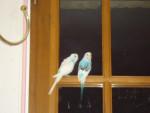blue - Macho (2 años)